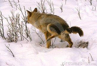 coyote-masrking-territory-thumb16910955