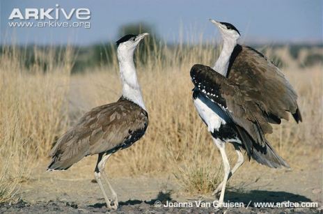 Great-Indian-bustard-males-in-territorial-display